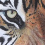 Tiger – Eye of the soul – Hampshire Art Gallery Animal Artist Pauline Scott