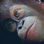 Baby Orangutan – Pastel Art – Romsey Hampshire Wildlife Artist Debbie Goulden