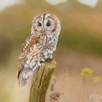 Tawny Owl At Rest – Oil Painting – Romsey Hampshire Wildlife Artist Debbie Goulden